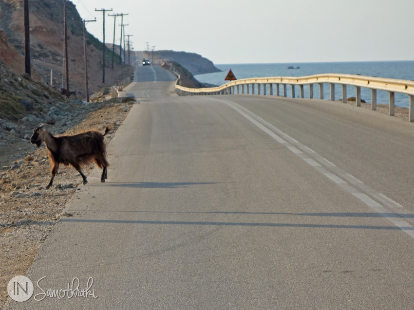 Goat crossing a road in Samothrace