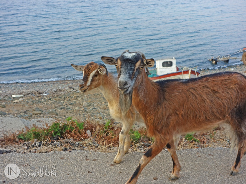Goats of Samothrace on the road