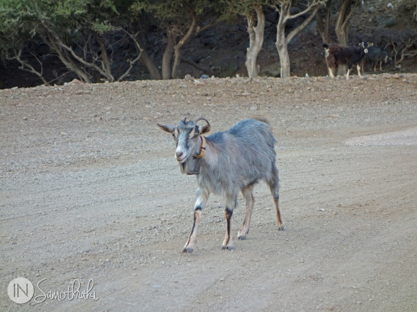 A goat on the pathway